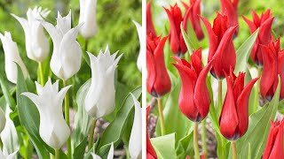 How to plant Lily Flowering Tulips: Jeff Turner planting fluted Lily Tulips in a raised border.