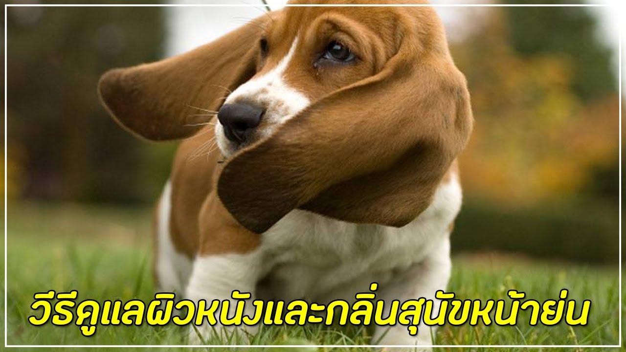 สุนัขที่มีผิวหนังย่น ควรดูแลผิวหนังและกลิ่นอย่างไร