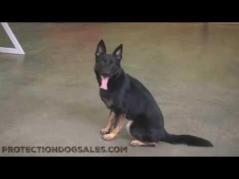 Beautiful German Shepherd 'Patton' 15 Mos Agility Tricks & Ball Play For Sale