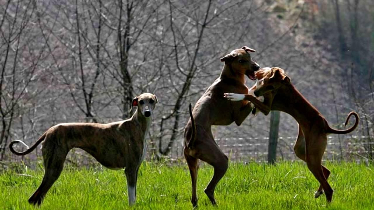 Порода собак. Азавак.  Охотничья и злая собака.Не рекомендуется держать дома, у кого есть дети