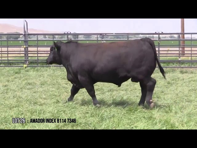 Mid Valley Bull Sale Lot 26
