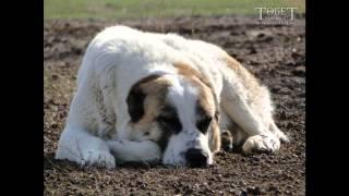 Кавказская овчарка vs Казахски Тобет
