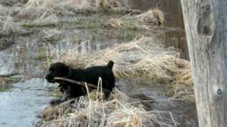 Link's First Swim :) Rottweiler / Cocker Spaniel Cross