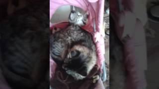 Домашняя кошка приняла бездомного котенка
