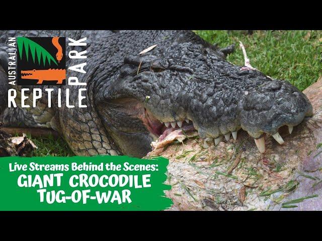LIVE: GIANT CROCODILE TUG-OF-WAR   AUSTRALIAN REPTILE PARK