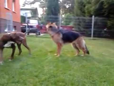 German Shepherd Dog Fight Pit bull Red Nose figh...