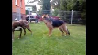 Pit Bull Red Nose Fighting German Shepherd