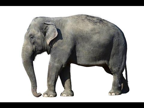 Elephant: Animals for Children Kids Videos Kindergarten Preschool Learning Toddlers Sounds Songs Zoo