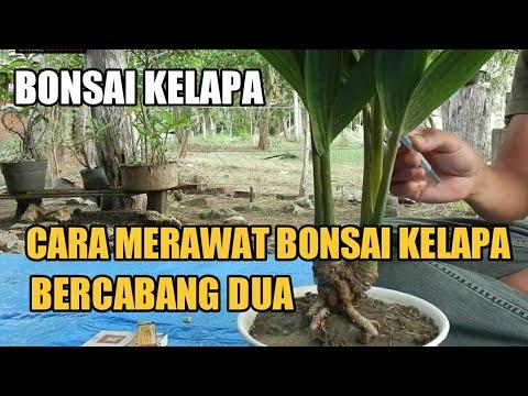 Cara Merawat Bonsai Kelapa Bercabang Dua Coconut Bonsai Youtube