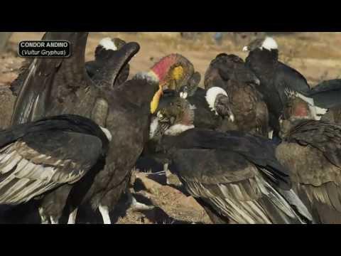 El Cóndor Andino - Vultur Gryphus