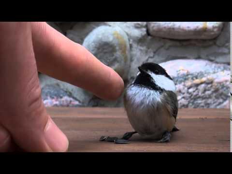 oiseau a frapp une vitre youtube. Black Bedroom Furniture Sets. Home Design Ideas