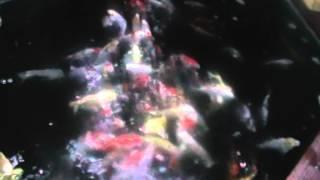 Rainbow Koi, Wiltshire. Video of High Grade Japanese Koi in Vat 3
