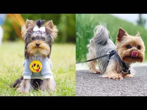 Cute Yorkshire Terrier Puppies Video Compilation