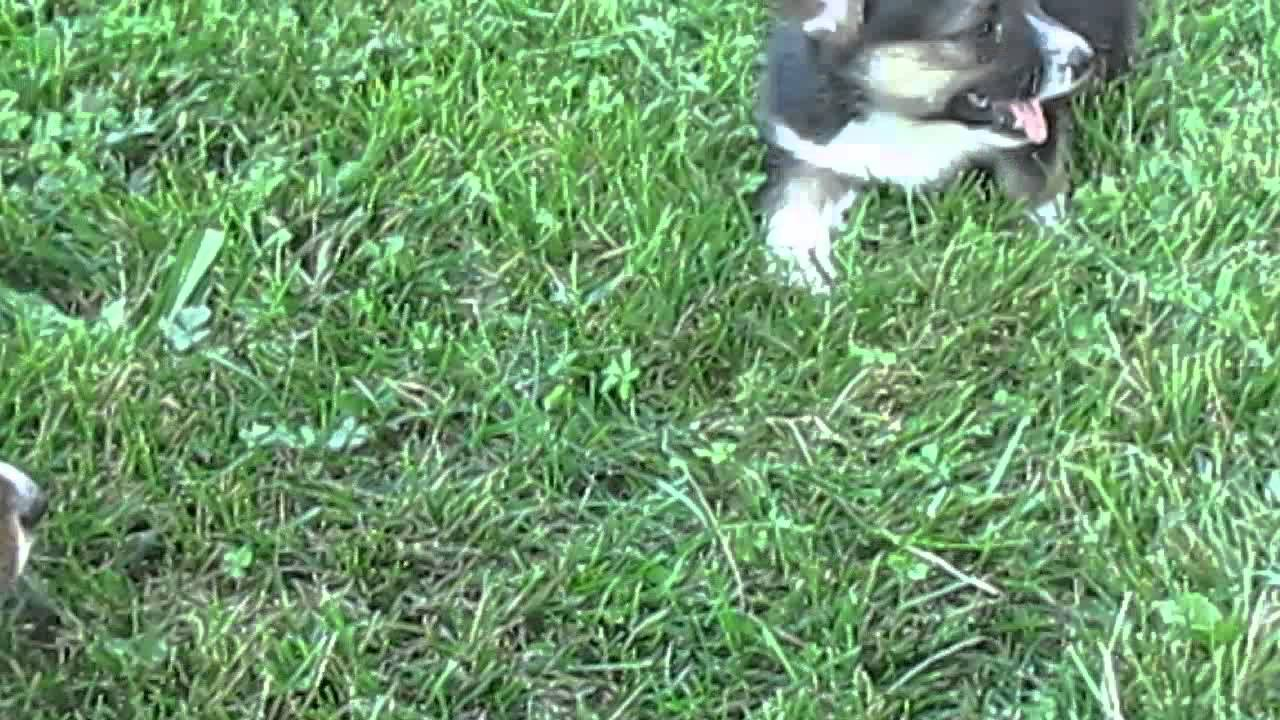 Corgi Puppies For Sale In Pa Youtube