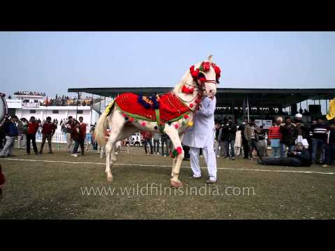 Dance performance by a horse in Kila Raipur