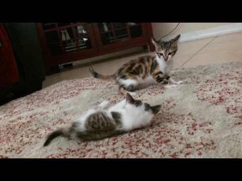 My Cats Fighting