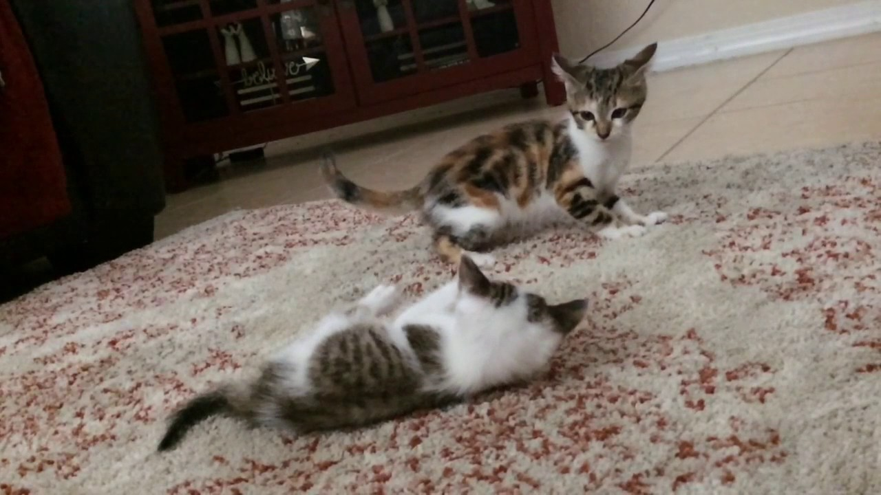 what is the world record for number of kittens born in a single litter of domestic cats?
