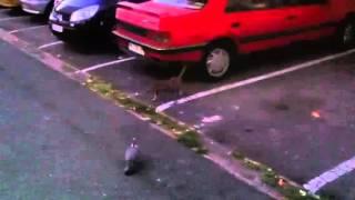 Tarterets chat vs pigeon