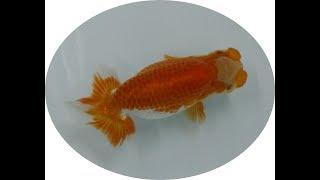 錦鯉、らんちゅう動画【 京都保津川養魚場 】らんちゅう 蘭鋳 Ranchu Goldfish thumbnail