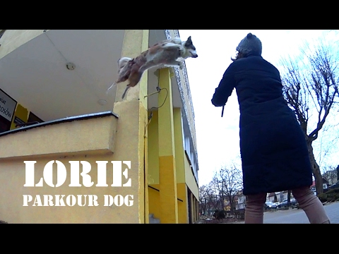 PARKOUR DOG - Border Collie - Lorie