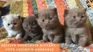 British Shorthair Kittens Playing  Cute and Adorable British Shorthair Cat Compilation
