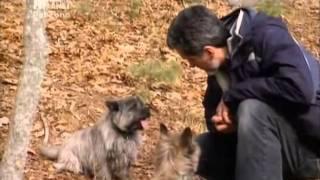 101 Nagykutya Cairn Terrier