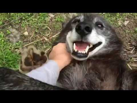 A Very Happy Wolf Dog Song