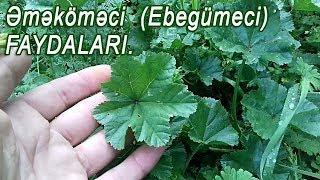 Əməköməci (Ebegümeci) bitkisinin faydaları