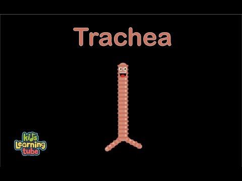 Trachea Anatomy Song for Kids/Trachea Anatomy for Children/Trachea Anatomy