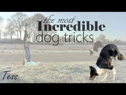 The most INCREDIBLE DOG TRICKS of 2017 - Amazing Border Collie