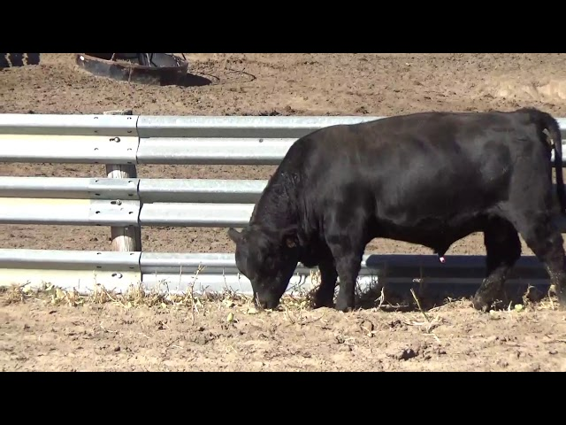 Connealy Angus Lot 108