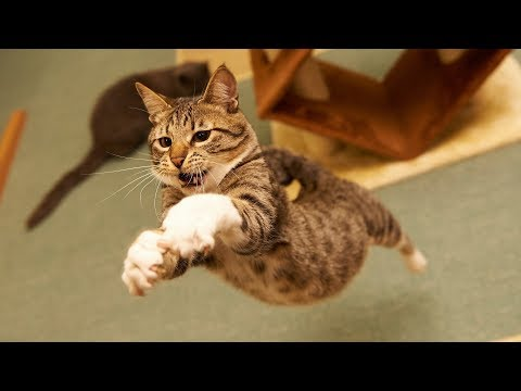 MOST Crazy & Funny Cats Fails Compilation, Try Not To Laugh Cats Videos