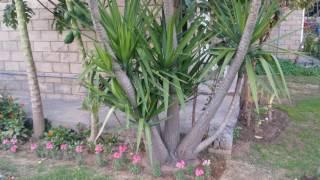 Yucca plant  care and propagation. (Urdu/hindi)