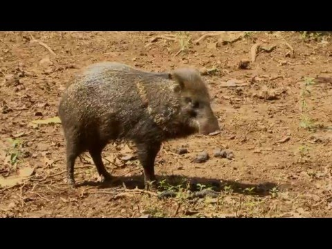 Collared Peccary of Costa Rica-Pig-like but not a Pig
