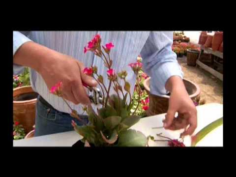 El jardinero en casa el calanchoe doovi for Jardinero en casa
