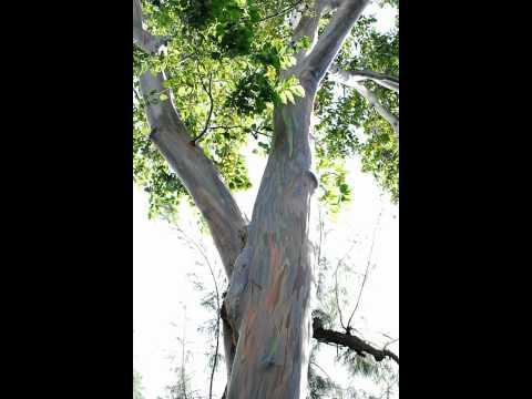 Mindanao Gum - Eucalyptus Deglupta - Free Photos And Art