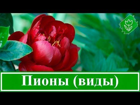 Виды и сорта пионов, болезни и вредители пионов