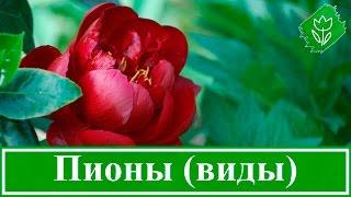 видео Эустома: правила выращивания, ухода, размножения, болезни и вредители