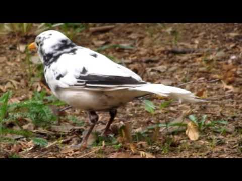 Kos cerny s leucismem5 Turdus merula Blackbird with leucism Adolf Goebel