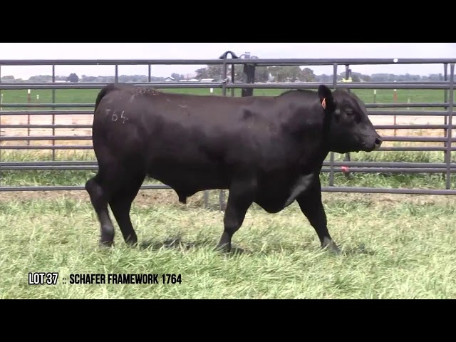 Mid Valley Bull Sale Lot 37