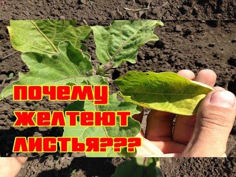 Почему желтеют листья на баклажанах / Выращивание баклажан / Когда делать подкормки | подкармливать | высаживать | выращивать | удобрения | подкормки | баклажаны | рассада | органи | огород | когда
