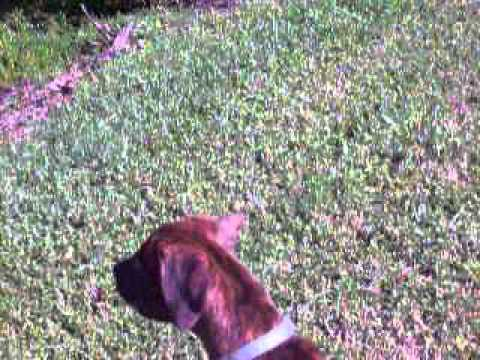 PAWS Adoptables - 3 Brindle Mixed Breeds
