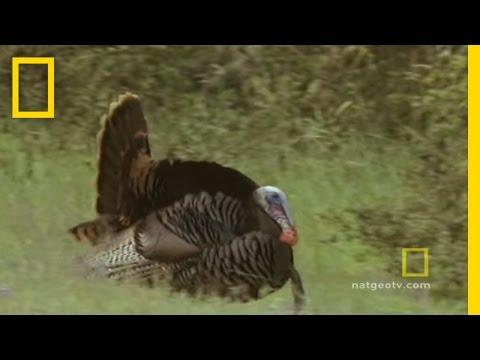 Turkeys Gone Wild | National Geographic
