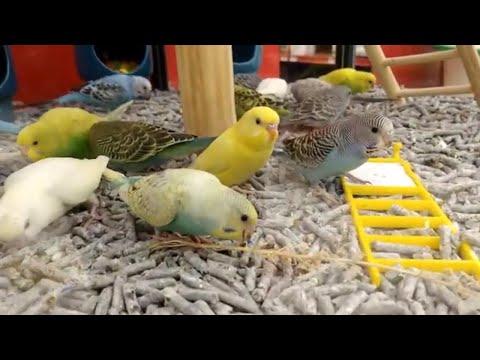 Fancy parakeet, Blue parakeet & Green parakeet (Melopsittacus undulatus)