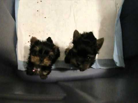 Mia & Tia want out of puppy jail tiniest teacup yorkie puppies Priceless  Yorkie Puppy