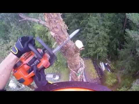 Pine climbed and felled with Husqvarna T540 and 395XP