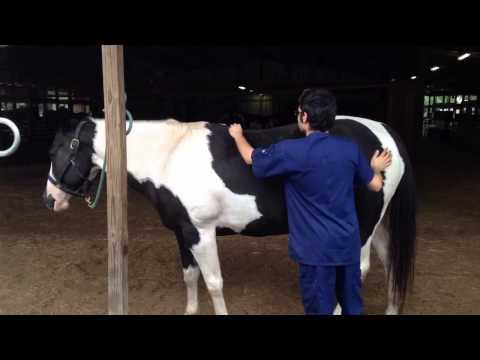 Equine Massage 1