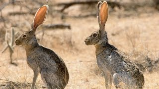 اخيرا لقيت ارنب جبلي مصري  Egyptian wild rabbit