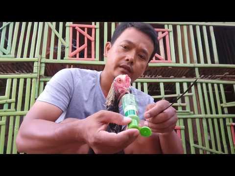 Cara Cepat Mengatasi Ngorok Pada Ayam Bangkok Tanpa Obat..