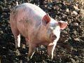 Pig dead drunk